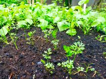 Carrot seedlings and radishes Royalty Free Stock Photos