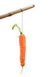 Carrot on a stick. Carrot tied to a stick Royalty Free Stock Image