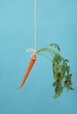 Carrot on a stick on blue. Classic motivational tool of carrot on a stick hanging in mid-air stock photography