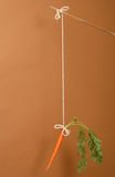 Carrot on a stick on chestnut background Stock Image
