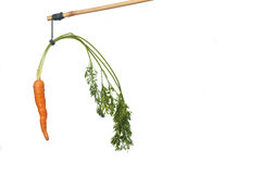 Carrot on a stick isolated on white. Dangle a carrot on a stick as an incentive royalty free stock photo