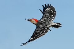 Carrot Top Cruiser. Red-Bellied Woodpecker in flight against a clear blue sky. Bold black-and-white striped back, with flashing red cap and nape. Look for white stock photo