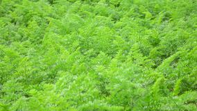 Carrot tops in the garden, Da Lat city, Lam Dong province, Vietnam stock video