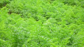 Carrot tops in the garden, Da Lat city, Lam Dong province, Vietnam stock footage