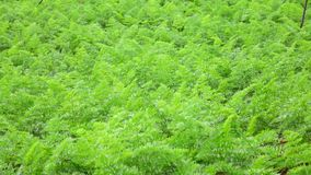 Carrot tops in the garden, Da Lat city, Lam Dong province, Vietnam stock video footage