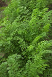 Carrot tops Royalty Free Stock Photography