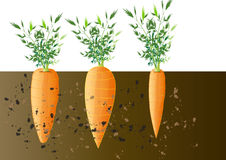 Carrot underground,growing carrot  vector illustration Royalty Free Stock Photo