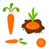 Carrot vector set in different styles. Royalty Free Stock Image