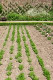 Carrot Vegetable Bed Stock Photography