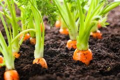 Carrot vegetable grows in the garden in the soil organic background closeup royalty free stock photography