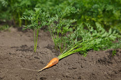 Carrot on vegetable patches Royalty Free Stock Photos