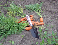 Carrots 1 Stock Photos