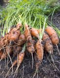 Carrots. Fresh carrots in the garden royalty free stock image