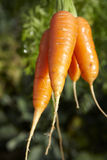 Carrots-2 Royalty Free Stock Photos