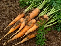 Carrots. Some carrots with tops on the ground Royalty Free Stock Images