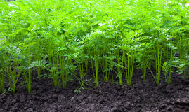 Carrots. Agricultural field on which grow up carrots Stock Photography