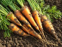 Carrots. Some fresh carrots on the ground Royalty Free Stock Image