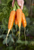 Carrots-3. Fresh carrots with hands after harvest stock photography