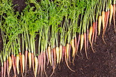 Carrots arranged in a diagonal line on rich soil Royalty Free Stock Photo