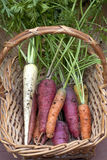 Carrots in a basket. Stock Image