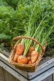 Carrots in a basket. Royalty Free Stock Images