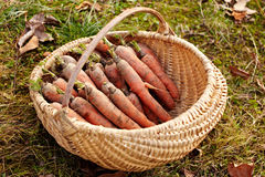 Carrots in a basket outdoor Royalty Free Stock Photo