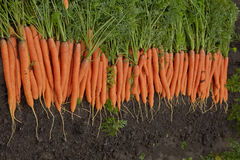 Carrots on the bed Stock Photo