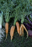 Carrots beet leak Stock Image