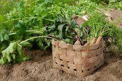 Carrots beets and parsnips in garden Royalty Free Stock Image
