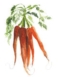 Carrots bunch of roots vegetables watercolor painting illustration Royalty Free Illustration