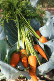 Carrots on the cabbage Stock Image