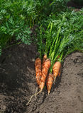Carrots crop on field Stock Photography