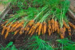 Carrots crop. The woman reaps a carrots crop. Very large carrot. HD Stock Image