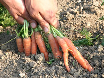 Carrots - daucus carota Royalty Free Stock Images