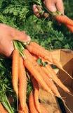 Carrots - daucus carota Stock Image