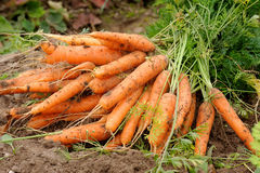 Carrots. Fresh carrots, picked up from soil in October Stock Images