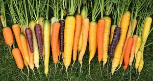 Carrots. Freshly harvested, colorful carrots on green grass Royalty Free Stock Photo