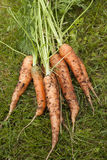 Carrots. Freshly harvested carrots lying on grass Stock Photography