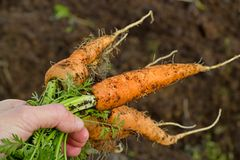 Carrots from the garden Royalty Free Stock Images