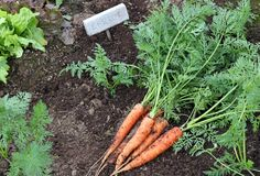 Carrots in the garden Royalty Free Stock Photo