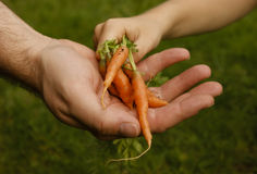 Carrots garden child grownup hands. Small child putting her small home grown carrots into a grownup's hand.Concept for family's healthy eating and home grown Stock Image