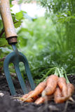 Carrots and Garden Fork Royalty Free Stock Images