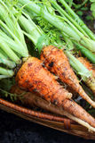 Carrots from the garden Stock Image