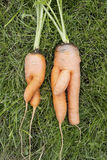 Carrots.  Girl and  boy Royalty Free Stock Image