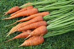 carrots on grass Stock Image