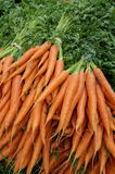 Carrots with green stalks and roots. Royalty Free Stock Photos