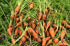 Carrots on the ground. Recently pulled carrots are lying on the garden ground Royalty Free Stock Photo