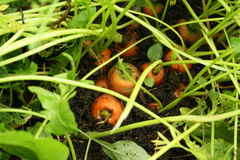 Carrots in the ground. Carrots still growing in the earth Stock Photos