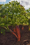 Carrots in the ground. Royalty Free Stock Image