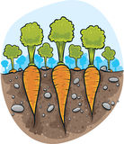 Carrots in the Ground Stock Image